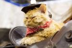Cat - Cowboy Kitty on Saddle (CC)