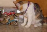 Cat loves diet coke (CC)
