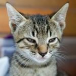 Cat Grumpy Kitty 02 (CC)