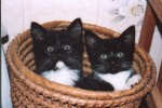 Cat - Kittens Watching (CC)