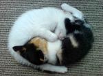 Yin Yang-Cats (CC)