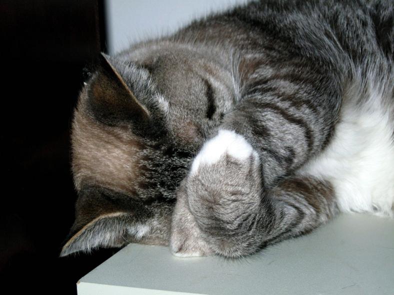 Cat Hiding Face (CC)