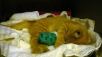 Cat Kitten in a Cast Sleeping (CC)
