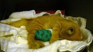 Cat Kitten in a Cast Sleeping (CC)