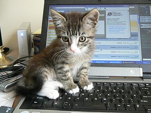Cat - Kitten on a Laptop (CC)