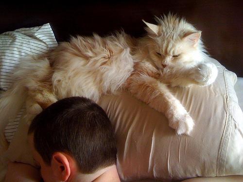 Cat Pillow Hog (CC)