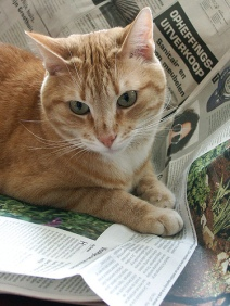 orange tabby cat on newspaper (CC)